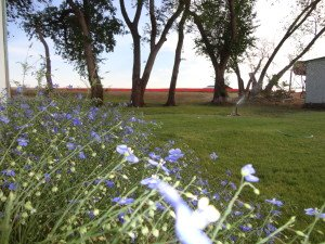 Blue Flax at Sunset